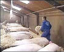 moden pig farming 080408