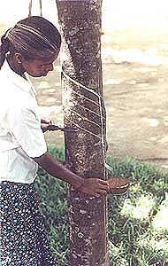 indian rubber plantation worker 030905