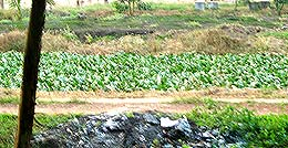 felda cow cattle rearing centre palong 120206 water retention