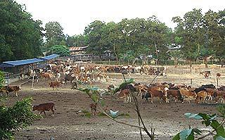 felda cow cattle rearing centre palong 120206 field